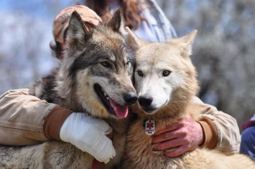 Hybrid wolves gaining popularity - West Virginia Press