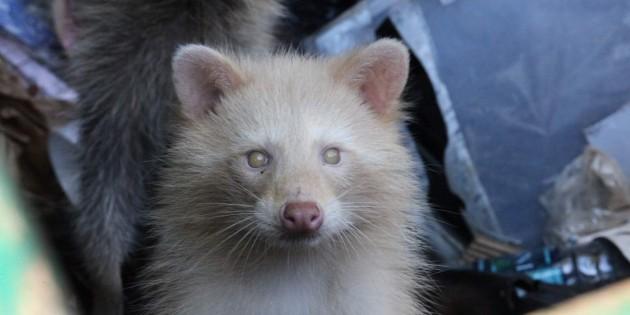 Kanawha park officer spots rare albino raccoon