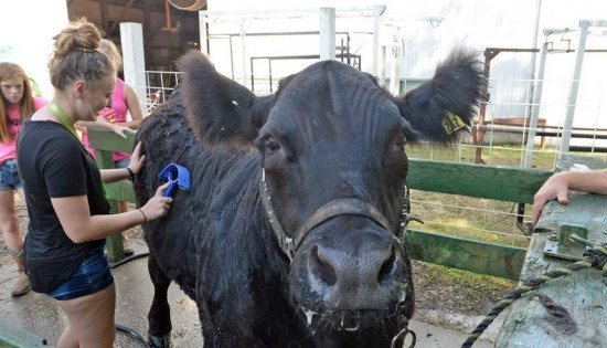 Smokey gets a bath at the Putnam County Fair