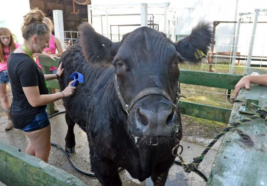 Charleston Gazette-Mail photo by Tom Hindman Edainah Young, 18, of Hurricane, groomed her 4-H black Angus named Smokey as she squirted him with water to cool him down at the Putnam County Fair Sunday.